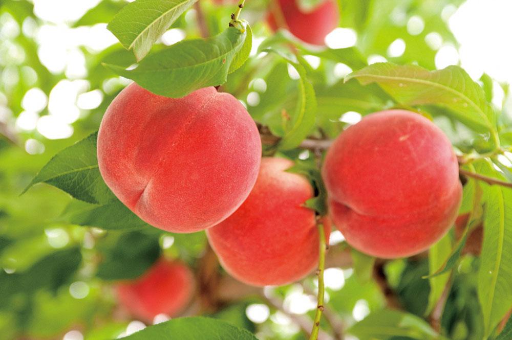 山梨市の果樹生産(モモ)